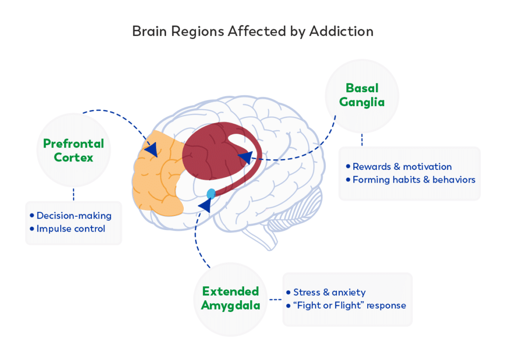 The Prefrontal Cortex, Basal Ganglia, and Extended Amygdala all contribute to how addiction develops in the brain