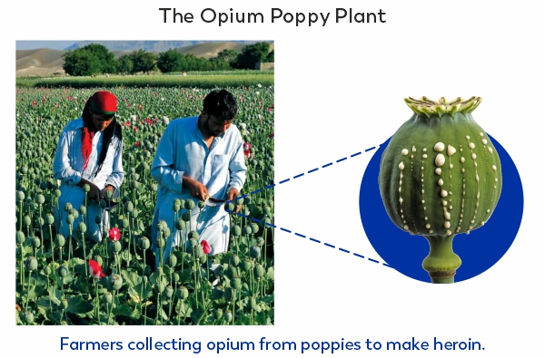 Farmers gathering opium from poppy plants to make heroin.